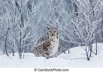 Lynx in the snow - A european lynx in the snow. Cold...