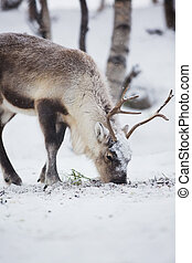 Reindeer Eats in a Winter Forest - Reindeer eat grass in...