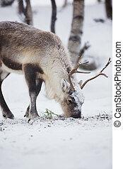 reno, Come, invierno, bosque