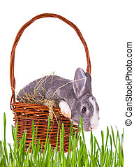 Easter rabbit - Easter baby rabbit with green grass on white...