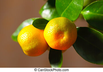 Calamondin fruits close up - Calamondin ripe fruits on the...