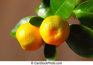 Calamondin fruits close up - Calamondin ripe fruits on the...