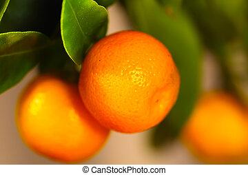 Calamondin fruits - Calamondin branch with ripe fruits,...