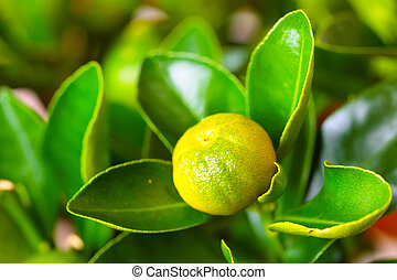 Calamondin branch with fruit - The calamondin branch with...