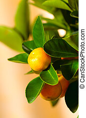 Calamondin tree with ripe fruits, close up