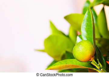 Calamondin greenbranch - Calamondin branch with green...
