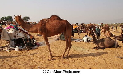 Camels during Pushkar Camel Fair - PUSHKAR, INDIA - NOVEMBER...