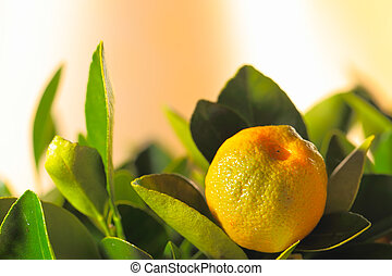 Calamondin fruit - Calamondin branch with ripe fruits, close...