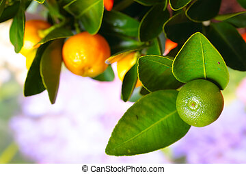 Calamondin branch with ripe fruits, close up