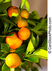 Calamondin branch, vertical - Calamondin branch with ripe...