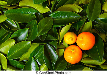 Calamondin citrus fruits on the green leaves background