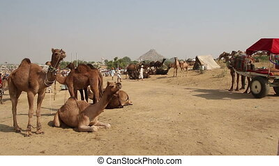 Camels during Pushkar Camel Fair