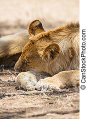Lion pride sleeping in Africa - Young male lion rests under...