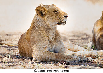 Lion pride rests in Africa - Young male lion resting under a...