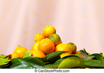 Calamondin citrus fruits on the green leaves