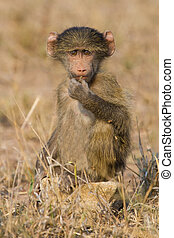 Cute baby baboon sit in brown grass learning about nature...