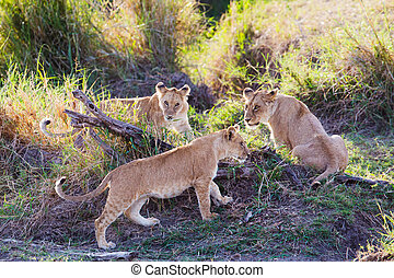 Lion cubs playing in Serengeti - Three young lions playing...