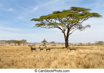 Zebra grazing in Serengeti - Zebras in the Serengeti...