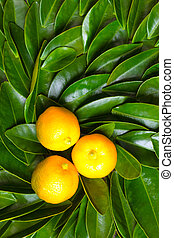 Calamondin fruits on green leaves - Calamondin fruits on the...