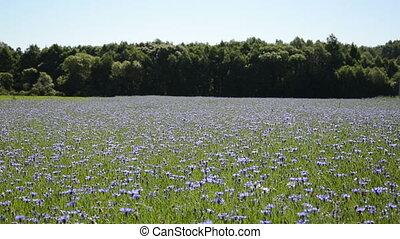 cornflower field forest
