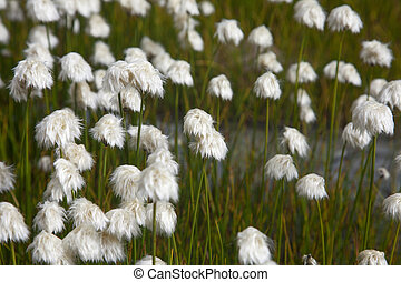 Cotton grass on the shore of a mountain lake