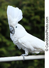 Sulphur-crested Cockatoo Parrot moving in the garden