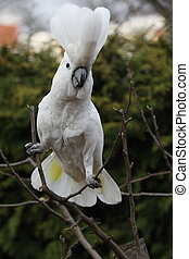 Sulphur-crested Cockatoo Parrot dancing on some tree in the...