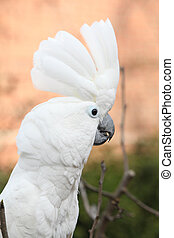 Sulphur-crested Cockatoo Parrot