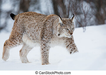 Lynx walking in the snow - A european lynx in the snow Cold...