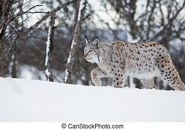European lynx walking in the snow - A european lynx in the...