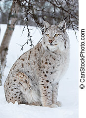 Proud lynx sitting under a tree - A european lynx sittings...