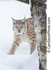 European lynx sneaking in the snow - A european lynx walking...