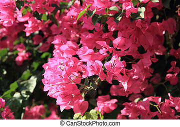 bougainvillea flower as very nice natural background
