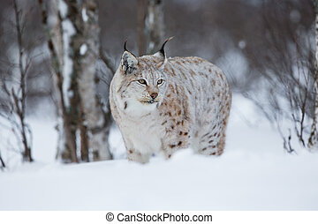 Lynx in winter forest - European lynx in the snow a cold...