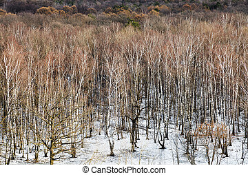 thawing in birch tree forest