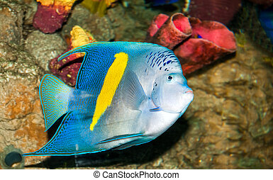 Spotted blue discus, freshwater fish native to the Amazon...