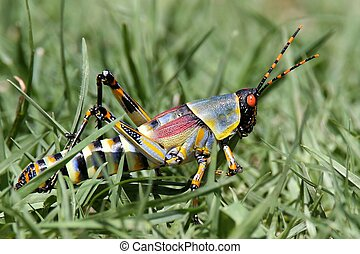 Brightly Colored Grasshopper - Colorful grasshopper with...