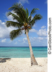 Coconut tree on caribbean beach, Dominican Republic -...