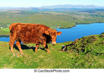 Luing Cow above Lake Windermere - Luing cow on Gummers How...