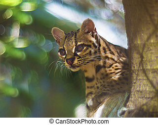 Margay feline cat - Margay or tiger cat or little tiger,...