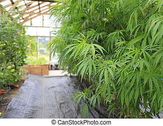 Marijuana cannabis, hemp plant growing inside of the green...