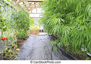 Marijuana ( cannabis), hemp plant growing inside of the...