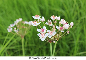 flowers of butomus umbellatus - pink and white flowers of...