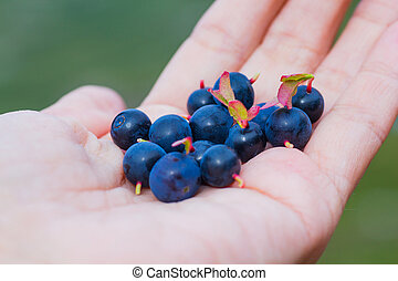 Blueberry - A Ripe Blueberry in Human Hand at the Summer...