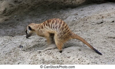 Adult meerkat digging sand looking for treasure