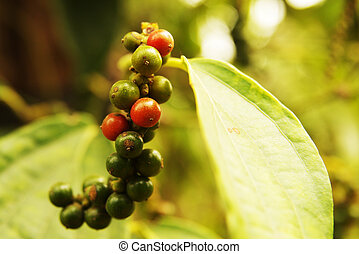 Green and red peppercorns growing on plantation - Close-up...
