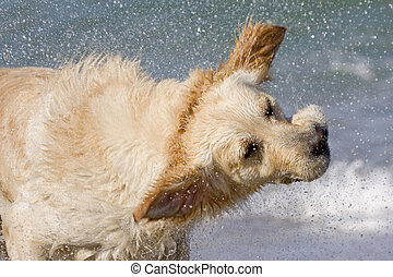 Shake - Wet golden retriever shaking head splashing water