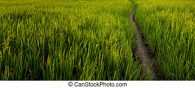 paddyfield with dirt pathway