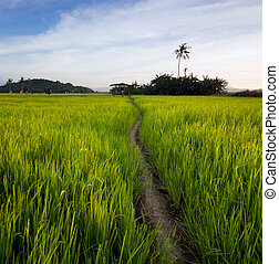paddyfield with dirt pathway at Sabah, Borneo, Malaysia