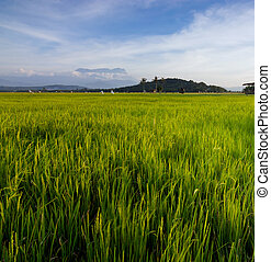 paddyfield with blue sky at Sabah, Borneo, Malaysia